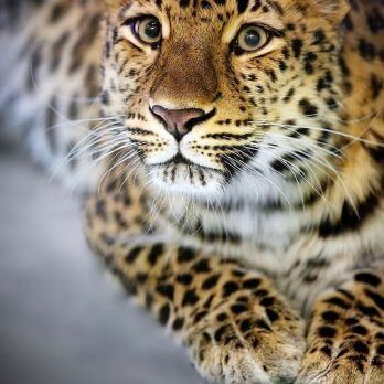 Gorgeous Amur leopard looking up towards the camera.  - amur leopard - Mask Compositing: The Crash Course
