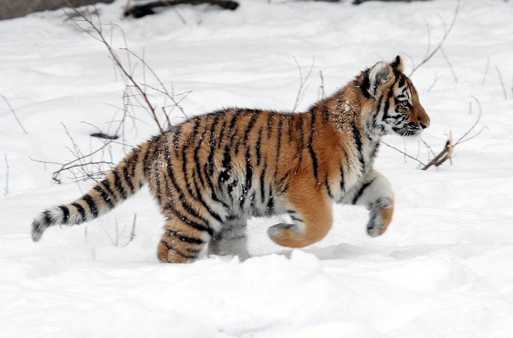 Fluffy Siberian tiger cub dashing through the snow.  - amur tiger cub buffalo zoo - Mask Compositing: The Crash Course
